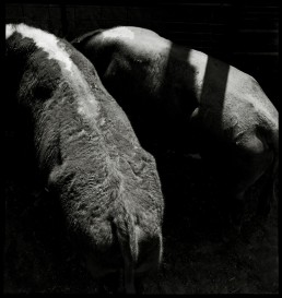 Photograph of two cows at Cattle Auctions